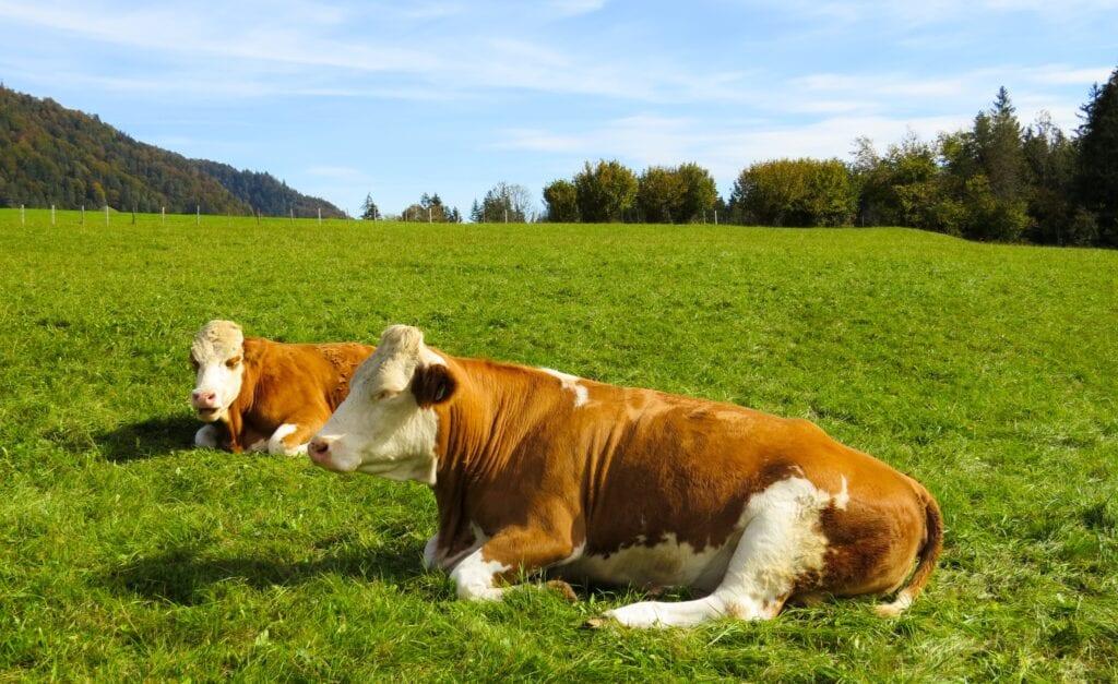 Heifer Grass-Fed Beef